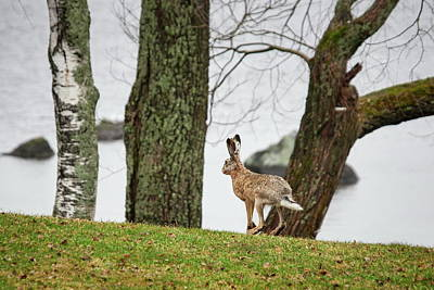 Photograph - Just Jumping By The Lake. European Hare by Jouko Lehto