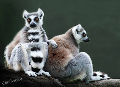 Ring-tailed Lemur Photograph - Just Lovin This Tall Tail by Julie L Hoddinott