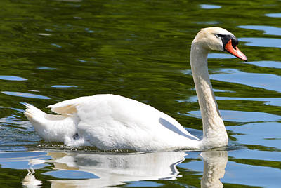 Stratford Photograph - Just One Swan A Swimming by Richard Andrews