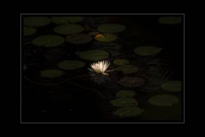 Photograph - Just One Water Lily by Sherman Perry