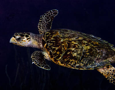 Photograph - Just Passing Through Hawksbill Turtle by Jean Noren