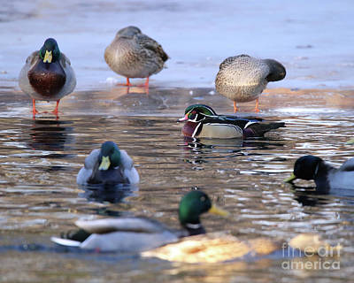 Wood Duck Profile Photograph - Just Passing Through by Laurie Pocher