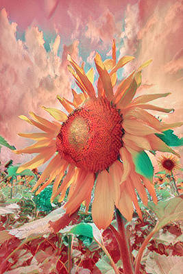 Photograph - Just Peachy Sunflowers by Debra and Dave Vanderlaan