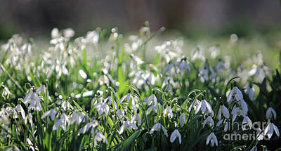 Photograph - Just Snowdrops by Julia Gavin