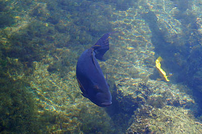 Photograph - Just Swimming Around by Pamela Walton