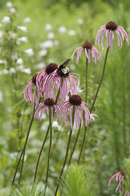 Photograph - Just Visiting - Bee On Coneflowers by Jane Eleanor Nicholas