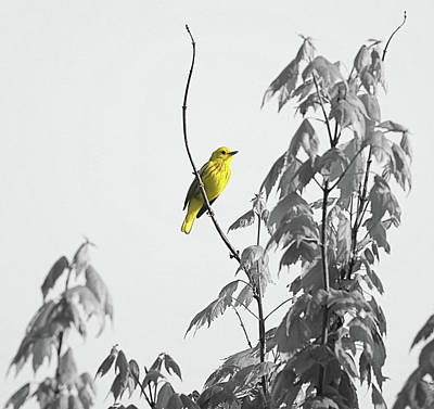 Photograph - Just Yellow Warbler by Dan Sproul