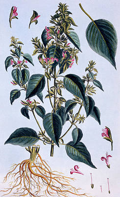 Pink Flower Drawing - Justicia Adhatoda by Pierre-Joseph Buchoz