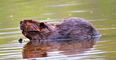 Photograph - Justin Beaver by Kathy Kelly