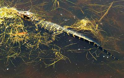 Photograph - Juvenile Alligator by Joshua Bales