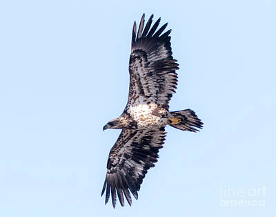 Photograph - Juvenile Bald Eagle 2017 by Ricky L Jones
