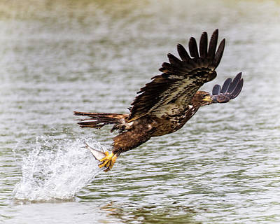Photograph - Juvenile Bald Eagle  by Alan Raasch