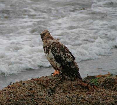 Photograph - Juvenile Bald Eagle At Cape Flattery by Dan Sproul