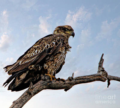 Photograph - Juvenile Bald Eagle by Elizabeth Winter