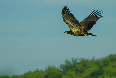 Photograph - Juvenile Bald Eagle Extended by Jeff at JSJ Photography