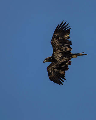 Photograph - Juvenile Bald Eagle Gliding by Jemmy Archer