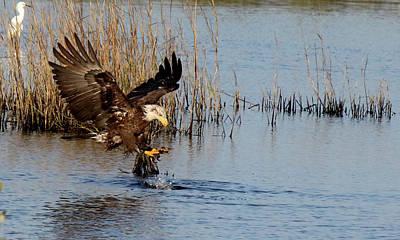 Photograph - Juvenile Bald Eagle Hunting by Mercedes Martishius