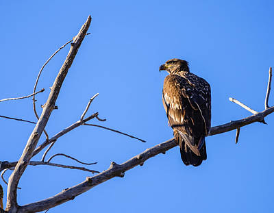 Photograph - Juvenile Bald Eagle In Nature by Vishwanath Bhat