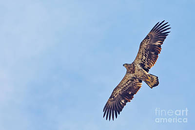 Photograph - Juvenile Bald Eagle by Natural Focal Point Photography