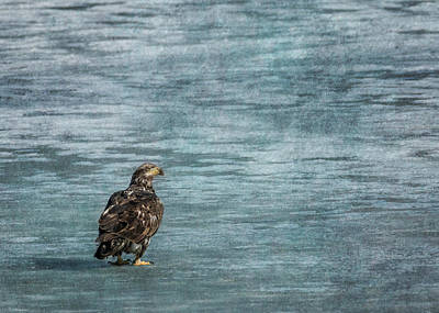 Photograph - Juvenile Bald Eagle On Ice by Patti Deters