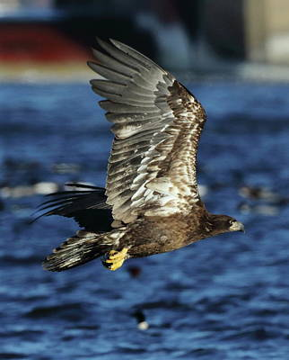 Photograph - Juvenile Bald Eagle Over Water by Coby Cooper
