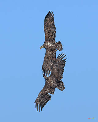 Photograph - Juvenile Bald Eagles Drb0226 by Gerry Gantt