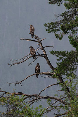 Photograph - Juvenile Bald Eagles, Vancouver Island, Canada by David Stanley