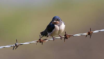 Photograph - Juvenile Barn Swallow Landscape by Peter Walkden