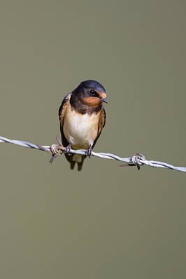 Photograph - Juvenile Barn Swallow by Peter Walkden