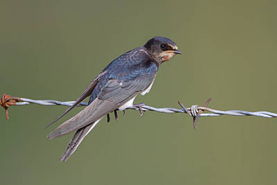 Photograph - Juvenile Barn Swallow Side On by Peter Walkden