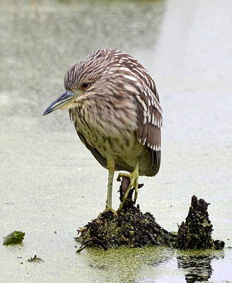 Photograph - Juvenile Black-crowned Night Heron by Carla Parris