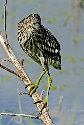 Juvenile Black-crowned Night Heron II Print by Dawn Currie