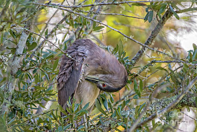 Photograph - Juvenile Black Crowned Night Heron Preening by Bill And Deb Hayes