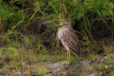 Photograph - Juvenile Black-crowned Night-heron by Robert Mitchell