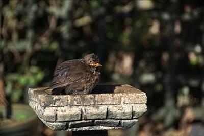 Photograph - Juvenile Blackbird by Chris Day