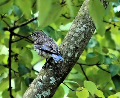 Photograph - Juvenile Bluebird by Katherine White