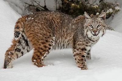 Photograph - Juvenile Bobcat 188 by Teresa Wilson