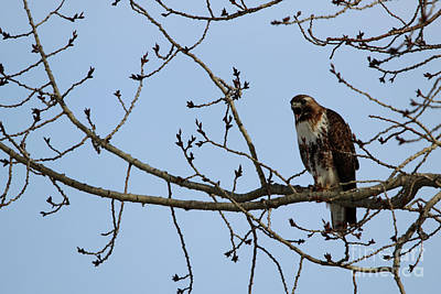 Photograph - Juvenile Borealis Red-tailed Hawk by Alyce Taylor