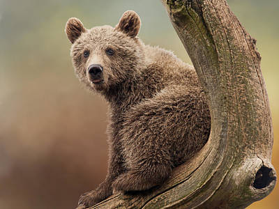 Photograph - Juvenile Brown Bear - 365-5 by Inge Riis McDonald