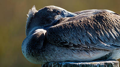 Photograph - Juvenile Brown Pelican At Rest by Van Sutherland