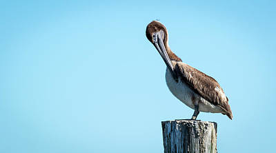 Photograph - Juvenile Brown Pelican On Piling by Van Sutherland