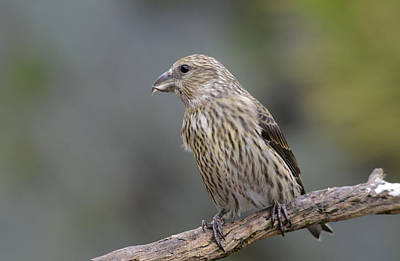 Crossbill Wall Art - Photograph - Juvenile Common Crossbill by Perry Van Munster