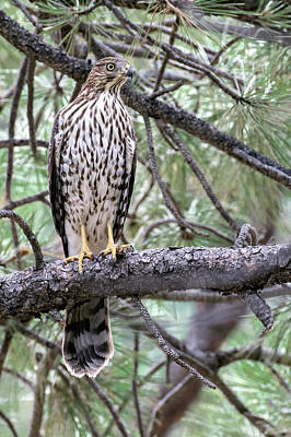 Photograph - Juvenile Cooper's Hawk by Dawn Key