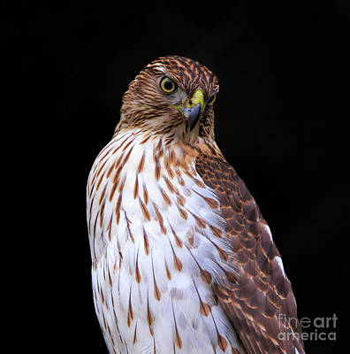 Photograph - Juvenile Cooper's Hawk by Elizabeth Winter