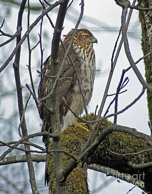 Photograph - Juvenile Coopers Hawk by Lizi Beard-Ward