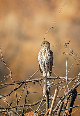 Photograph - Juvenile Coopers Hawk by Loree Johnson