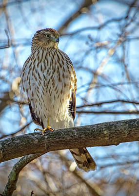 Photograph - Juvenile Cooper's Hawk by Ron Grafe