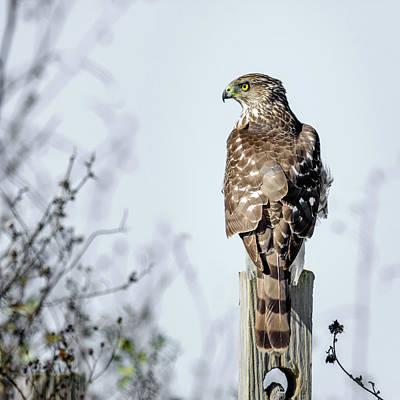 Photograph - Juvenile Cooper's Hawk - Square by Debra Martz