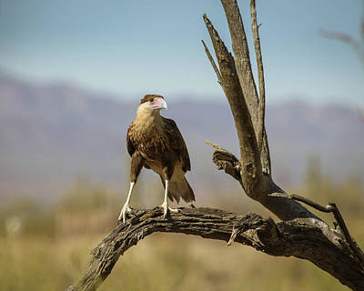 Photograph - Juvenile Crested Caracara-img_340918 by Rosemary Woods-Desert Rose Images