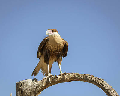 Photograph - Juvenile Crested Caracara-img_343518 by Rosemary Woods-Desert Rose Images